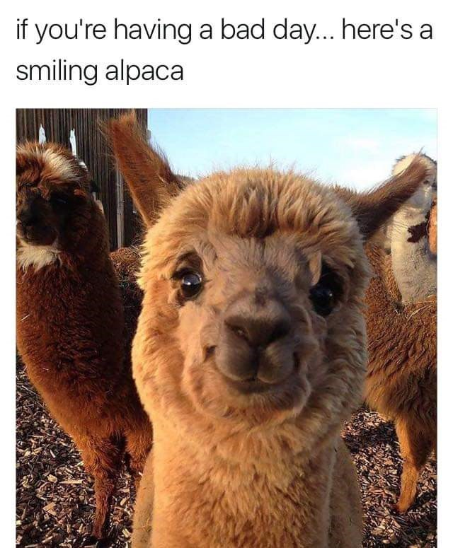 alpaca cute smile - 9255154688