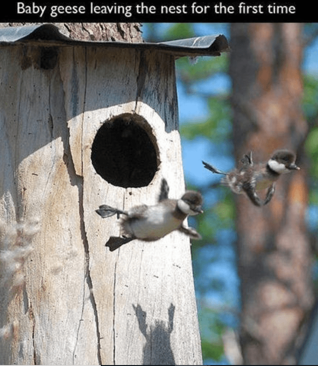 Birdhouse - Baby geese leaving the nest for the first time