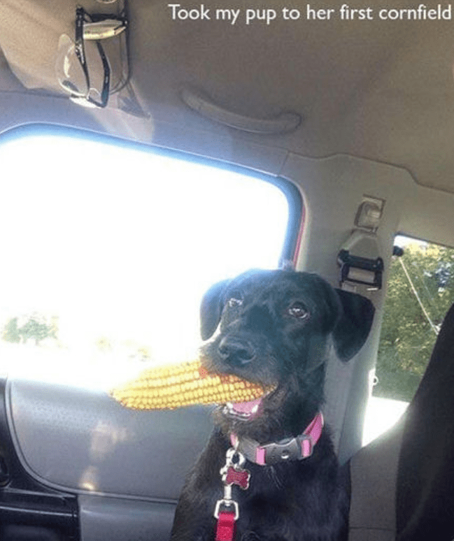 Dog - Took my pup to her first cornfield
