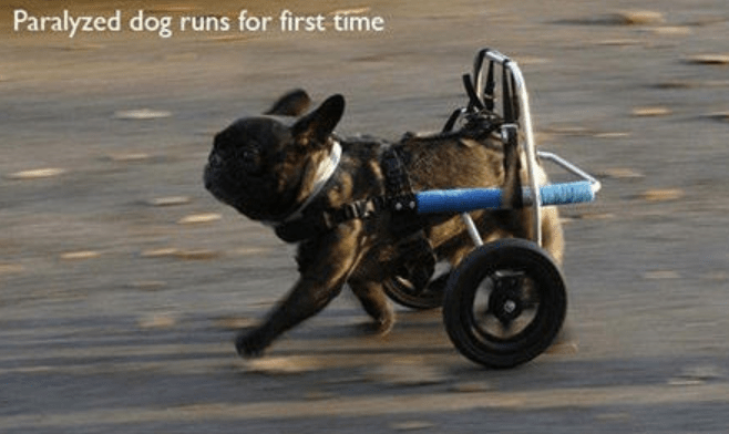 Vehicle - Paralyzed dog runs for first time
