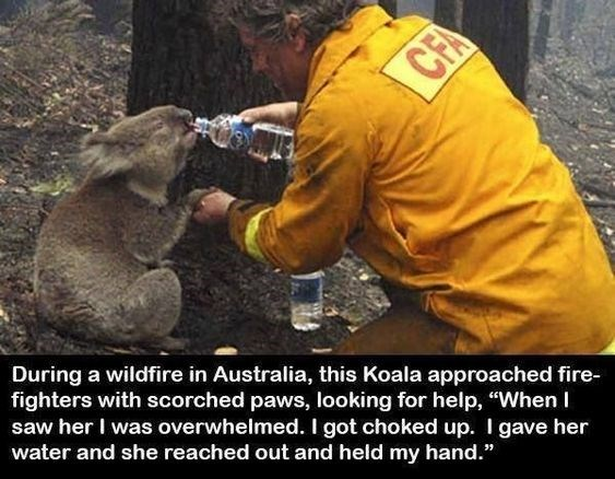 """Human - During a wildfire in Australia, this Koala approached fire- fighters with scorched paws, looking for help, """"When I saw her I was overwhelmed. I got choked up. I gave her water and she reached out and held my hand."""" CFA"""
