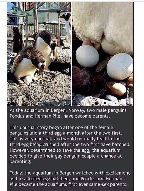 Organism - At the aquarium in Bergen, Norway, two male penguins Pondus and Herman Pile, have become parents. This unusual story began after one of the female penguins laid a third egg a month after the two first. This is very unusual, and would normally lead to the third egg being crushed after the two first have hatched. However, determined to save the egg, the aquarium decided to give their gay penguin couple a chance at parenting. Today, the aquarium in Bergen watched with excitement as the a