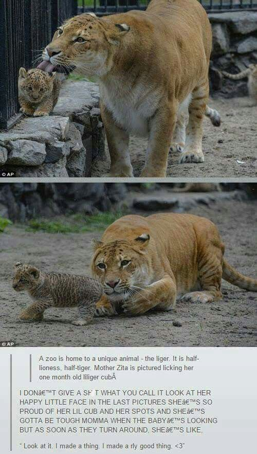 liger licking her baby cub