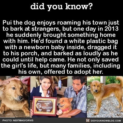 Dog - did you know? Pui the dog enjoys roaming his town just to bark at strangers, but one day in 2013 he suddenly brought something home with him. He'd found a white plastic bag with a newborn baby inside, dragged it to his porch, and barked as loudly as he could until help came. He not only saved the girl's life, but many families, including his own, offered to adopt her. PHOTO: NEXTMAG/ORVIS O DIDYOUKNOWBLOG.COM