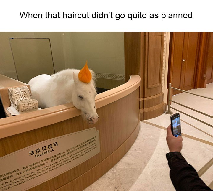 Floor - When that haircut didn't go quite as planned 法拉贝拉马 FALABELLA 29比例和特点,被认为是比小型马更小的微小製母.法教R校 生情温和、是对人类忠诚的动物之一,更星深受有士於想 的 to be a miniature hose. nather han a p eeceend ef s annpe ed s name feom ehe Falabella fomily Them are mart Aan and geale as one af e a is elo loved by the European and Ameriean ch ewhe have e i r
