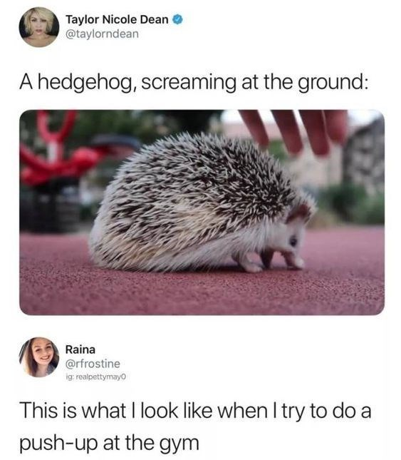 wholesome meme - Hedgehog - Taylor Nicole Dean @taylorndean A hedgehog, screaming at the ground: Raina @rfrostine ig: realpettymay0 This is what I look like when I try to do a push-up at the gym