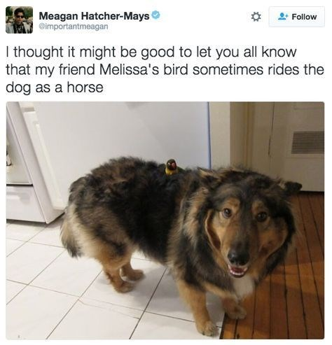 wholesome meme - Dog - Meagan Hatcher-Mays @importantmeagan Follow I thought it might be good to let you all know that my friend Melissa's bird sometimes rides the dog as a horse