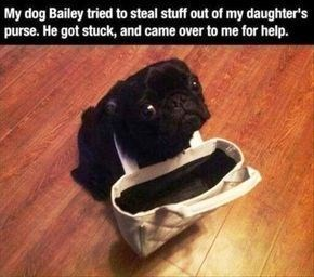 wholesome meme - Puppy - My dog Bailey tried to steal stuff out of my daughter's purse. He got stuck, and came over to me for help.