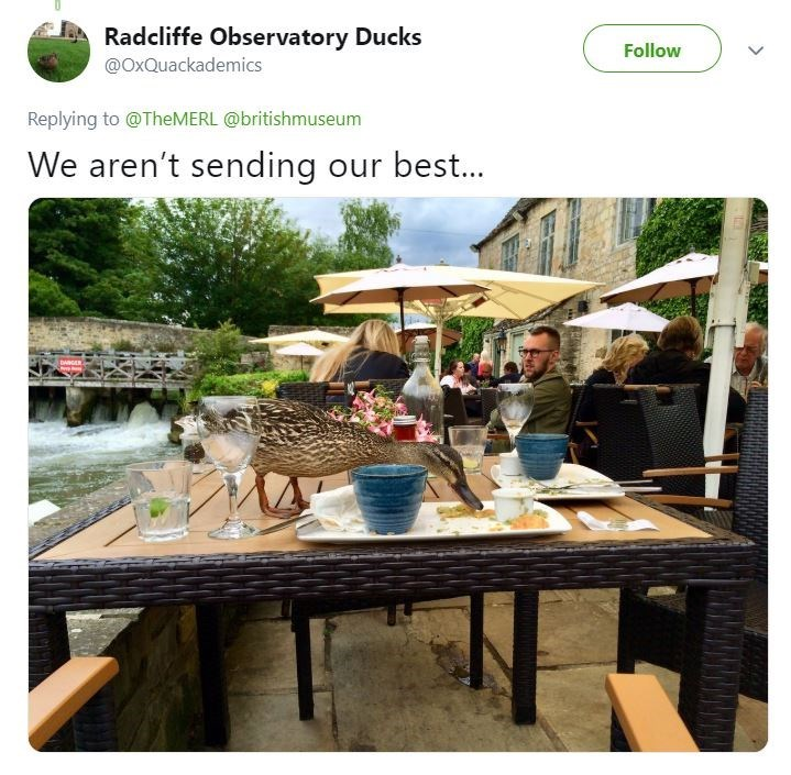 Tweet from Observatory showing ducks eating from table