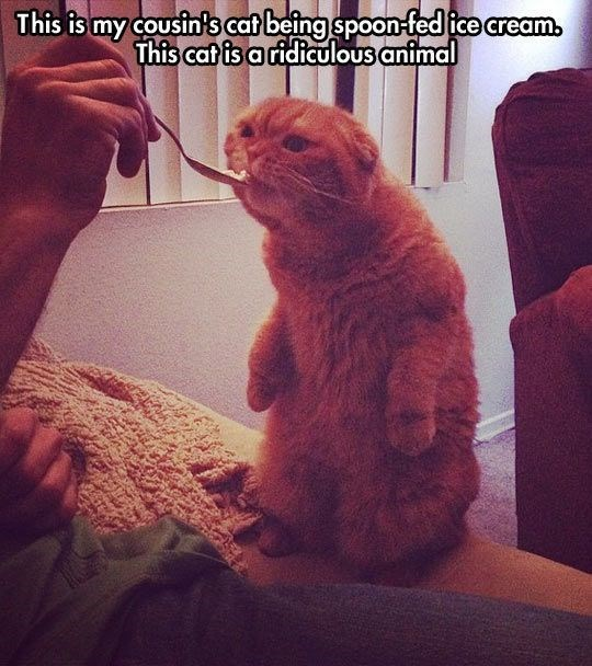 Pic of a cat standing on its hind legs and eating from a spoon