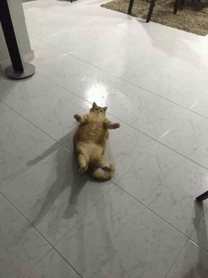 Funny pic of a chubby cat laying on its back and appearing like its stuck