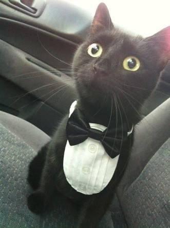 Cute pic of a black cat wearing a tuxedo