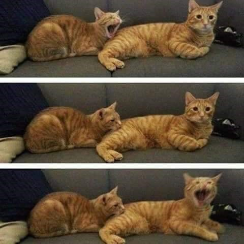Series of pics of two cats infecting each other with yawns