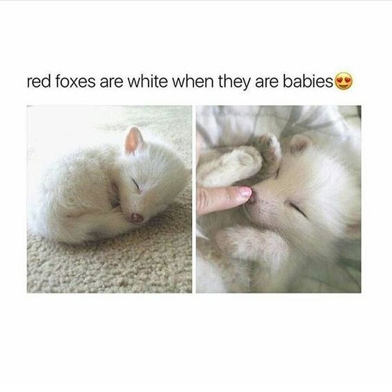 Cat - red foxes are white when they are babies