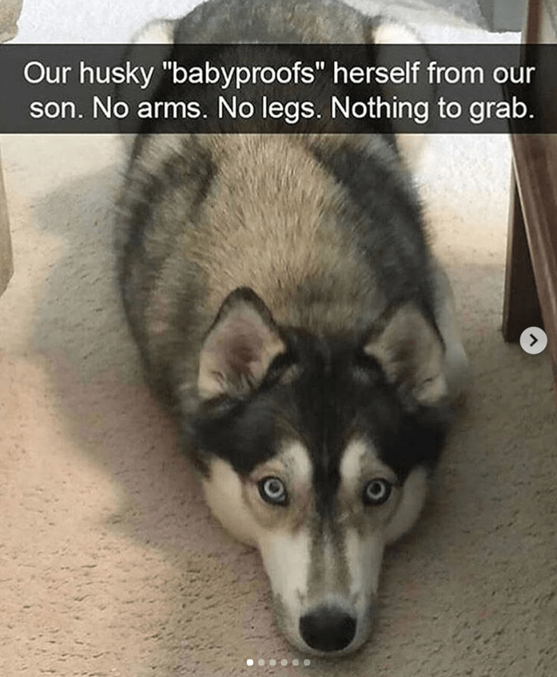 """Mammal - Our husky """"babyproofs"""" herself from our son. No arms. No legs. Nothing to grab."""