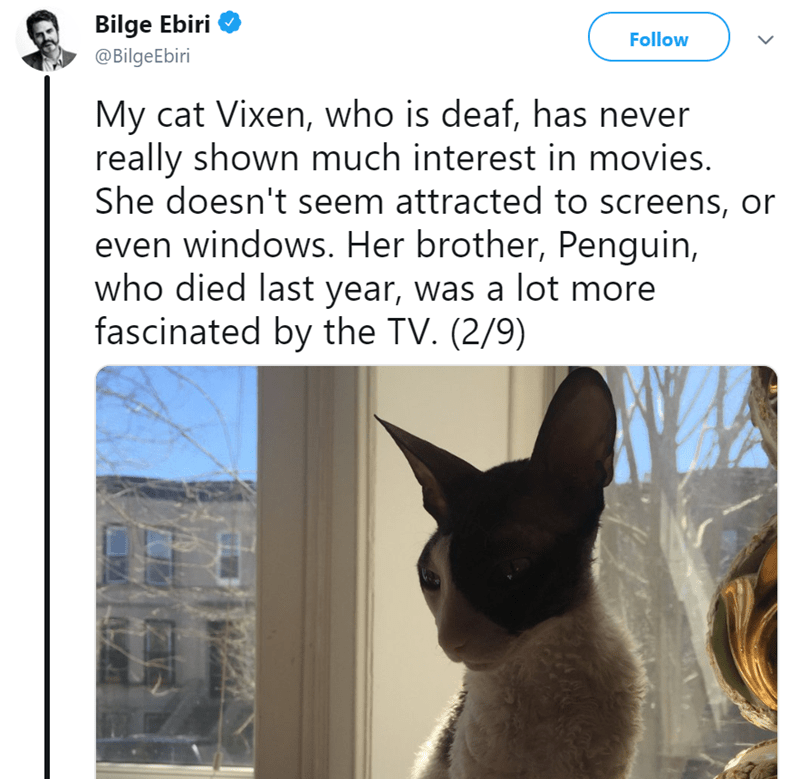 Cat - Bilge Ebiri Follow @BilgeEbiri My cat Vixen, who is deaf, has never really shown much interest in movies. She doesn't seem attracted to screens, or even windows. Her brother, Penguin, who died last year, was a lot more fascinated by the TV. (2/9)