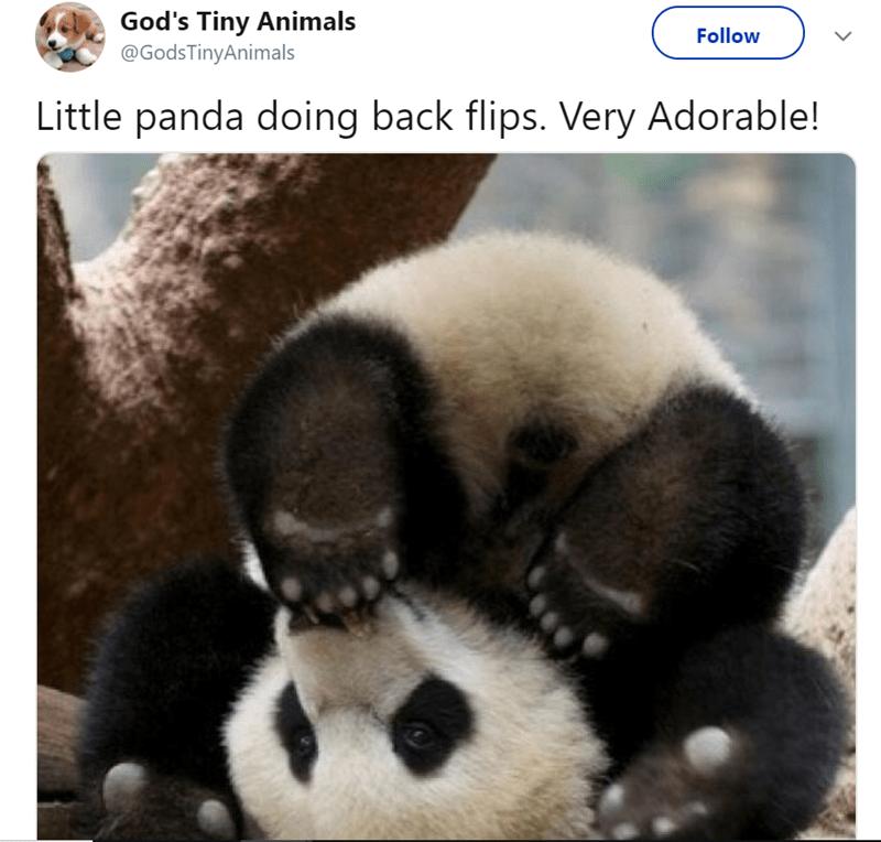 Adaptation - God's Tiny Animals @GodsTinyAnimals Follow Little panda doing back flips. Very Adorable!