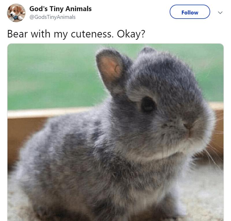 Domestic rabbit - God's Tiny Animals @GodsTinyAnimals Follow Bear with my cuteness. Okay?