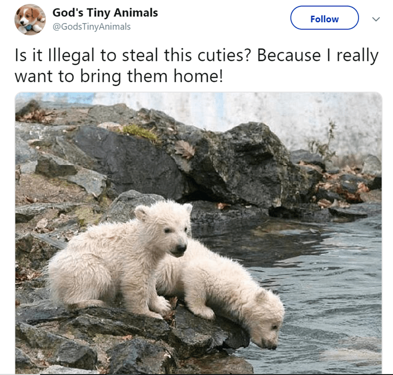 Polar bear - God's Tiny Animals @GodsTinyAnimals Follow Is it Illegal to steal this cuties? Because I really want to bring them home!