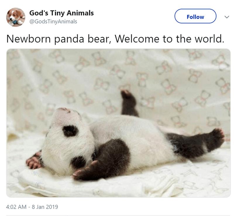 Panda - God's Tiny Animals @GodsTinyAnimals Follow Newborn panda bear, Welcome to the world 4:02 AM 8 Jan 2019 C DS 8 8 B Ba W C