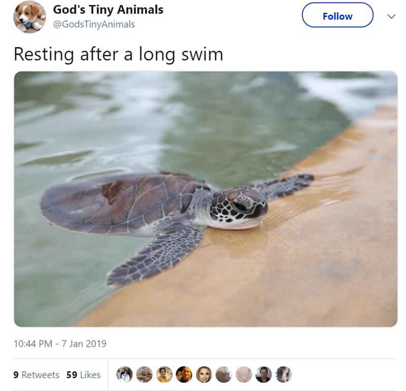 Sea turtle - God's Tiny Animals @GodsTinyAnimals Follow Resting after a long swim 10:44 PM - 7 Jan 2019 9 Retweets 59 Likes