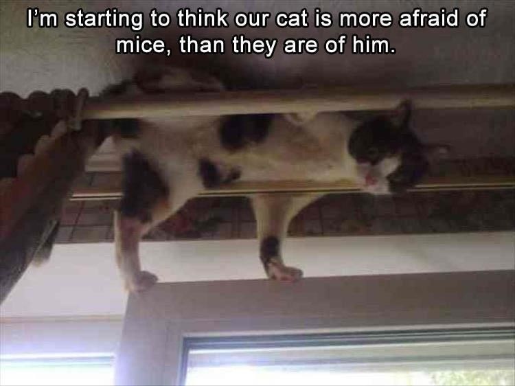 Caturday meme of a cat hiding in the curtain rod because of mice