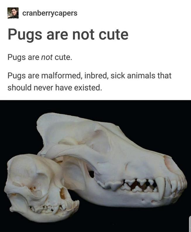 Jaw - cranberrycapers Pugs are not cute Pugs are not cute. Pugs are malformed, inbred, sick animals that should never have existed.
