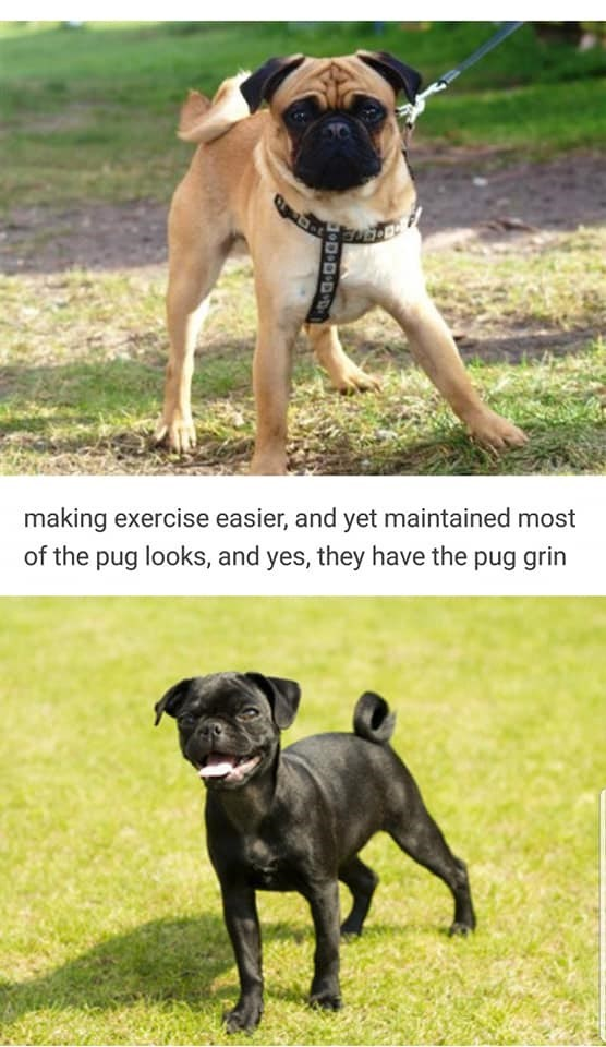 Dog - making exercise easier, and yet maintained most of the pug looks, and yes, they have the pug grin .D B+DvD