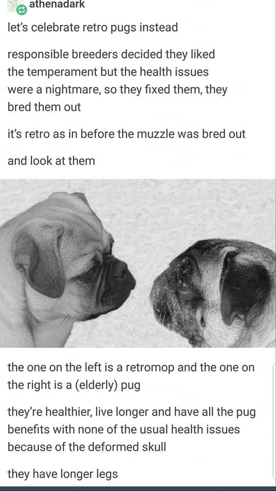Text - athenadark let's celebrate retro pugs instead responsible breeders decided they liked the temperament but the health issues were a nightmare, so they fixed them, they bred them out it's retro as in before the muzzle was bred out and look at them the one on the left is a retromop and the one on the right is a (elderly) pug they're healthier, live longer and have all the pug benefits with none of the usual health issues because of the deformed skull they have longer legs