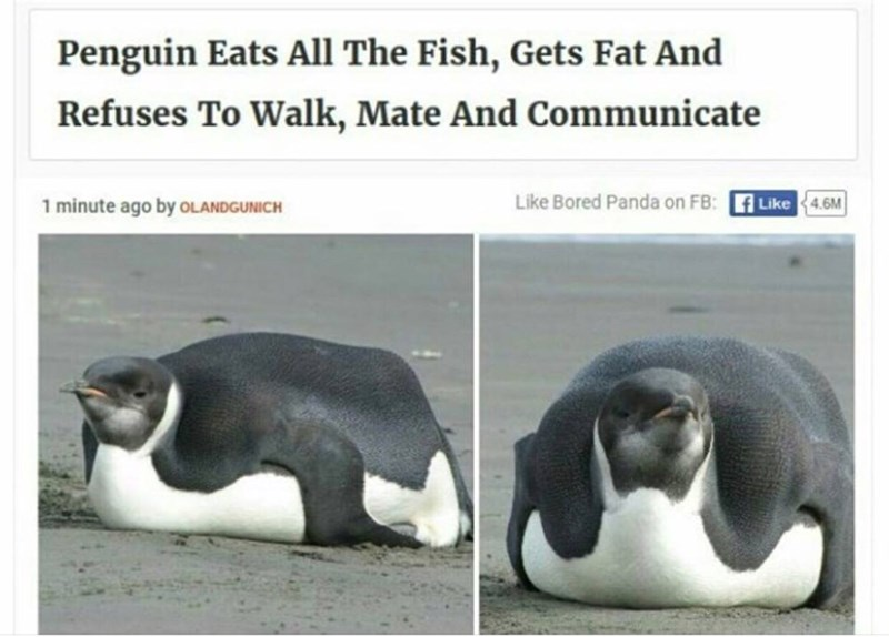 headline about relatable penguin who ate too much