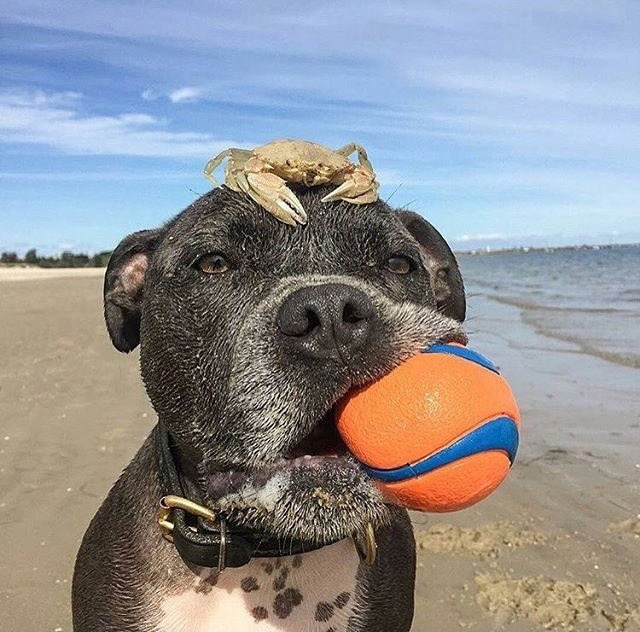 Dog with orange ball and crab on his head