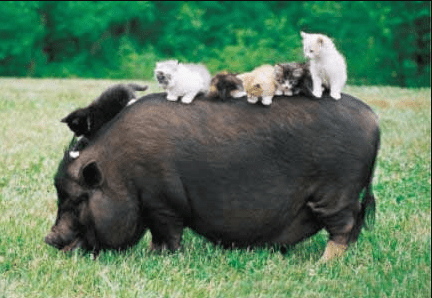 warthog with kittens on his back