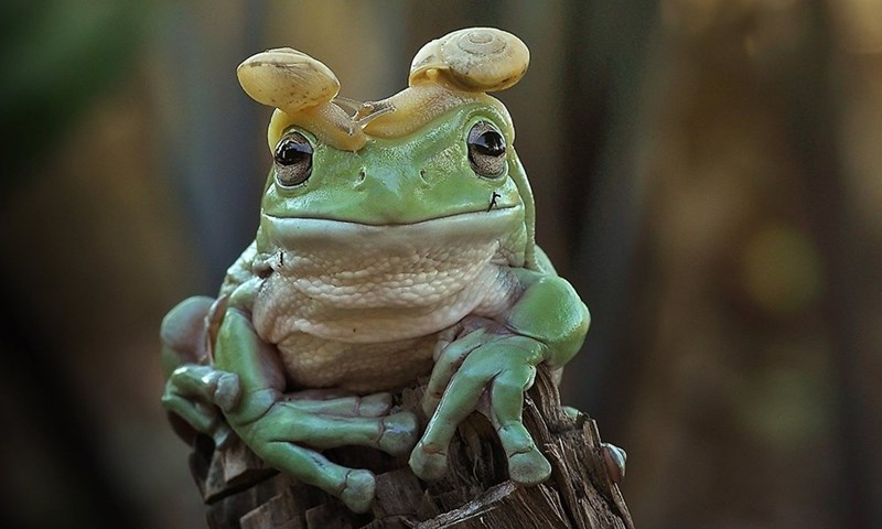 Frog with snail as a hat