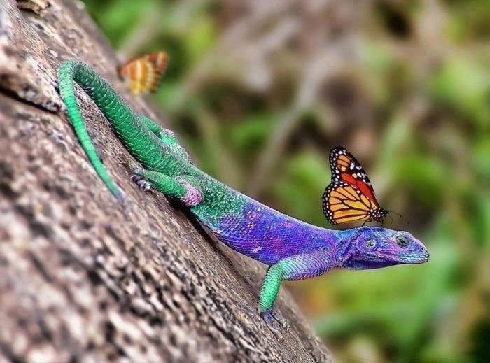 Reptile lizard with butterfly on his neck