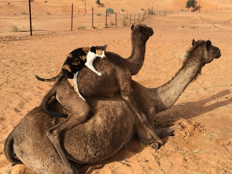 Camels with a cat on top