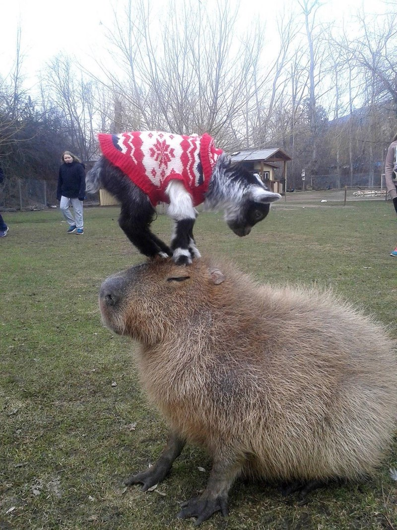 Capybara with goat on his calm little head