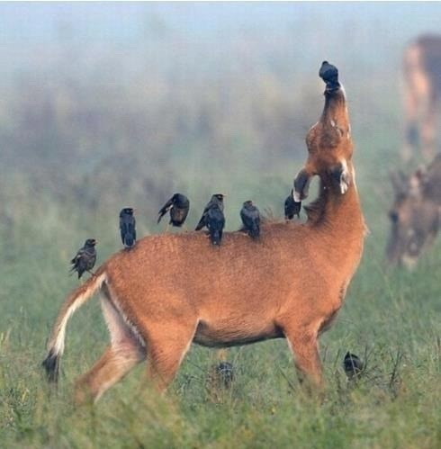 Wildlife photo of animal with birds on the back