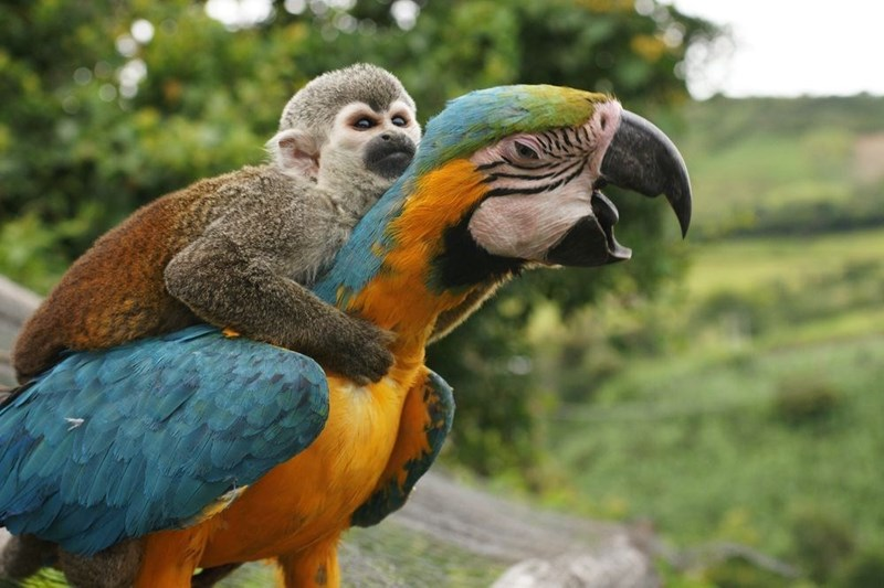 Macaw with monkey