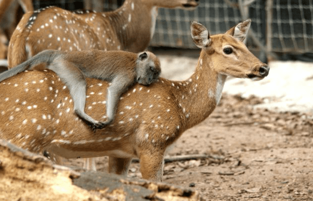 monkey on the back of a deer