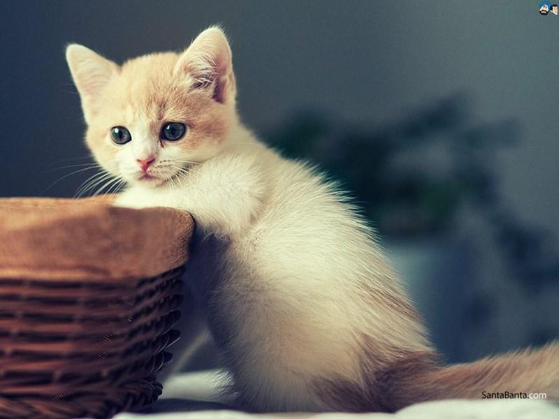 Cat - SantaBanta.com