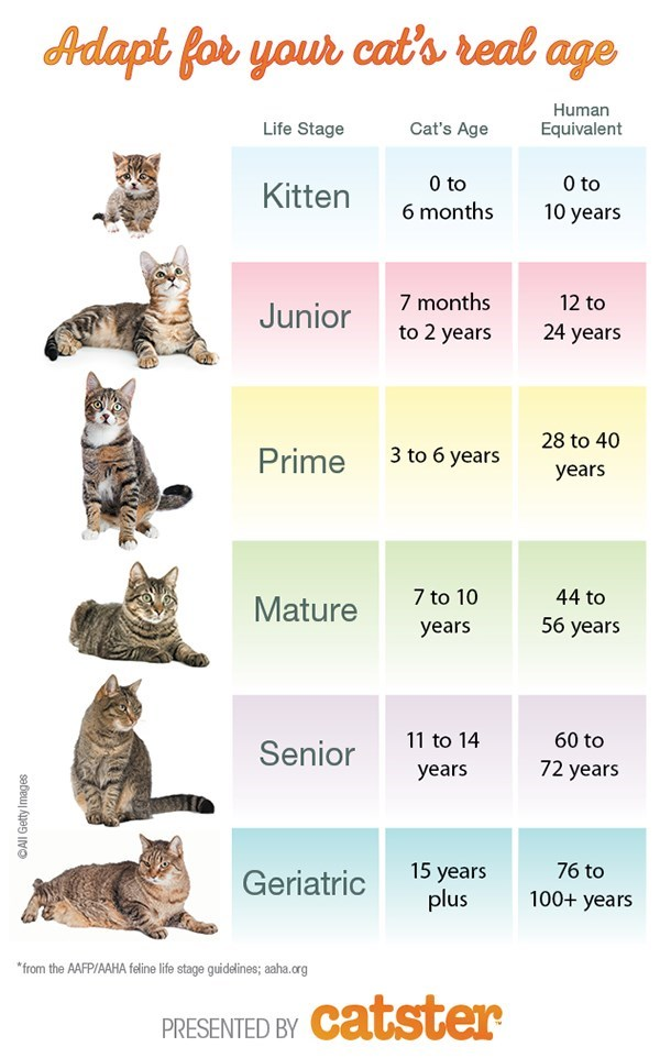 """Cat - Adapt for your cat's real age Human Cat's Age Life Stage Equivalent 0 to 0 to Kitten 6 months 10 years 7 months 12 to Junior to 2 years 24 years 28 to 40 3 to 6 years Prime years 7 to 10 44 to Mature 56 years уears 11 to 14 60 to Senior 72 years years 15 years plus 76 to Geriatric 100+ years """"from the AAFP/AAHA feline life stage guidelines; aaha.crg catster PRESENTED BY OAll Getty Images"""