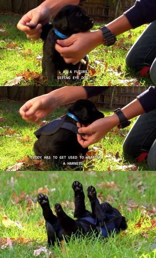 wholesome meme - Canidae - AS A FUTURE SEEING EYE DOG TEDDY HAS TO GET USED TO WEARING A HARNESS