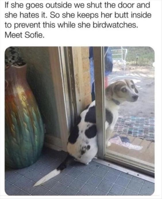 wholesome meme - Adaptation - If she goes outside we shut the door and she hates it. So she keeps her butt inside to prevent this while she birdwatches. Meet Sofie.