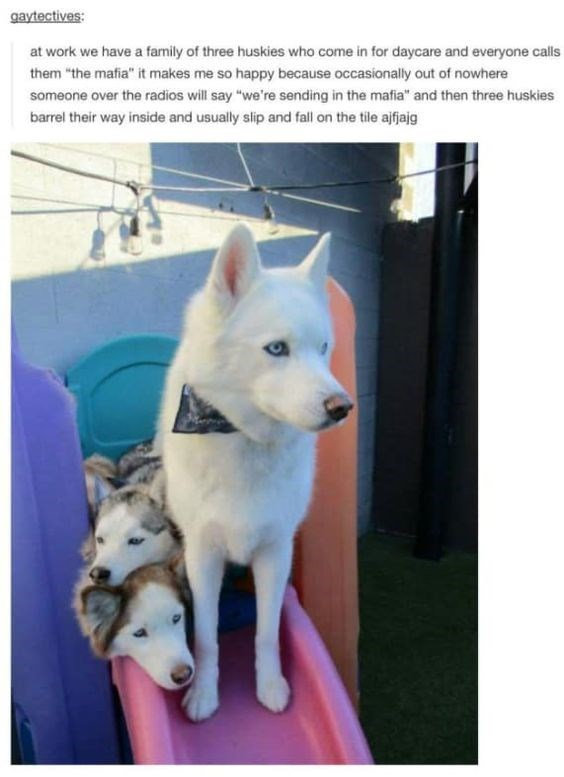 """wholesome meme - Dog - gaytectives: at work we have a family of three huskies who come in for daycare and everyone calls them """"the mafia"""" it makes me so happy because occasionally out of nowhere someone over the radios will say """"we're sending in the mafia"""" and then three huskies barrel their way inside and usually slip and fall on the tile afjajg"""