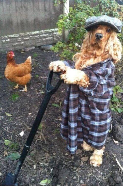funny animals - Chicken
