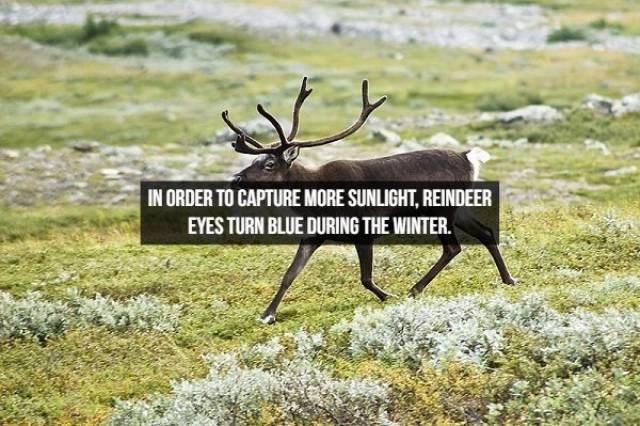 Reindeer - IN ORDER TO CAPTURE MORE SUNLIGHT, REINDEER EYES TURN BLUE DURING THE WINTER.