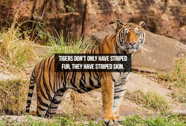 Tiger - TIGERS DON'T ONLY HAVE STRIPED FUR, THEY HAVE STRIPED SKIN.