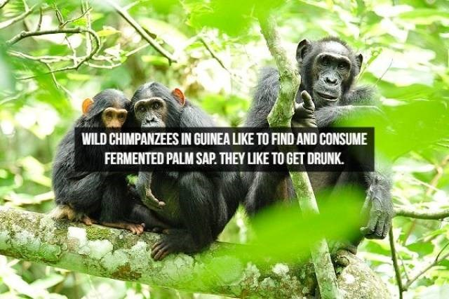 Common chimpanzee - WILD CHIMPANZEES IN GUINEA LIKE TO FIND AND CONSUME FERMENTED PALM SAP. THEY LIKE TO GET DRUNK.