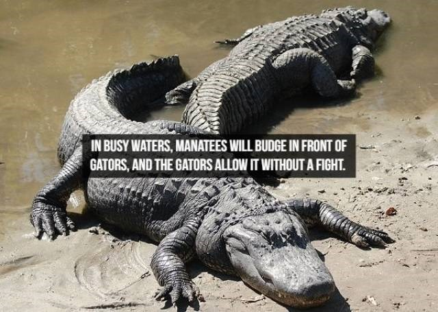 Reptile - IN BUSY WATERS, MANATEES WILL BUDGE IN FRONT OF GATORS, AND THE GATORS ALLOW IT WITHOUTA FIGHT