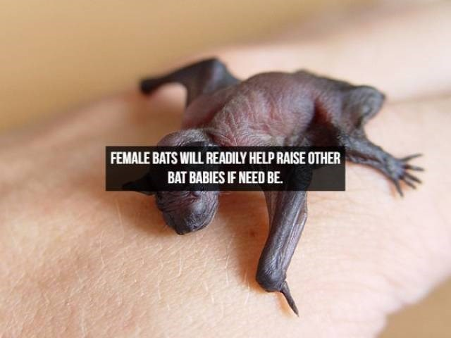 Bat - FEMALE BATS WILL READILY HELP RAISE OTHER BAT BABIES IF NEED BE